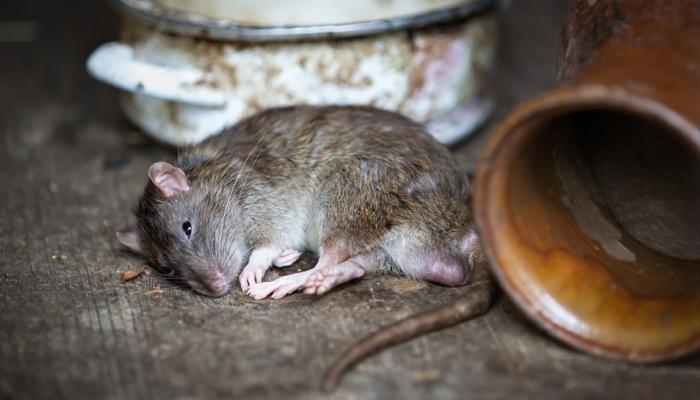 मंत्रालयातील उंदीर घोटाळा : मजूर सहकारी संस्थेचा पत्ता बोगस