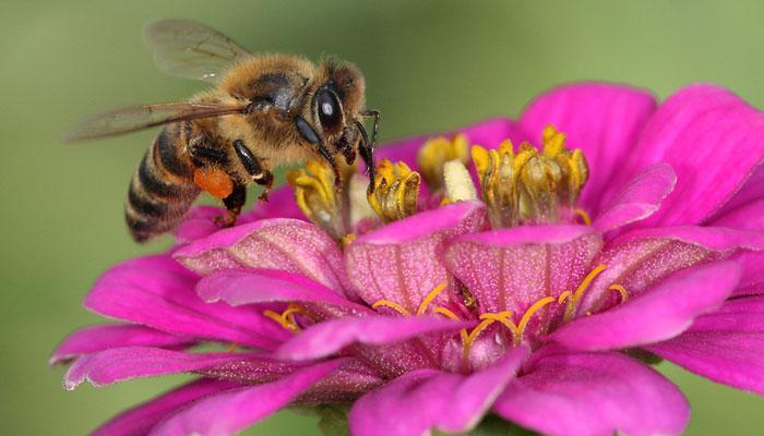 मधमाशीचा डंख जीवघेणा ठरण्यापूर्वी करा 'हे' प्रथमोपचार !