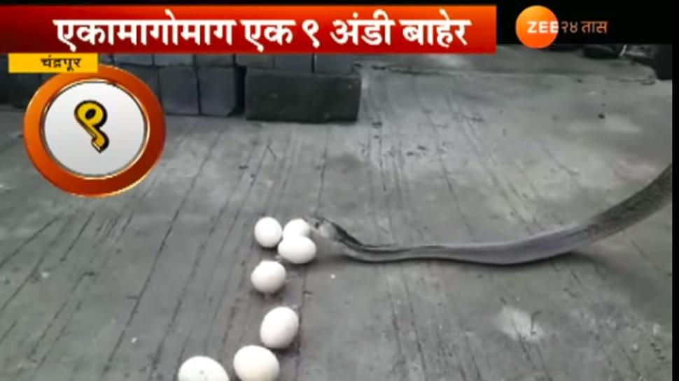 सापाने ९ अंडी तोंडावाटे काढली बाहेर