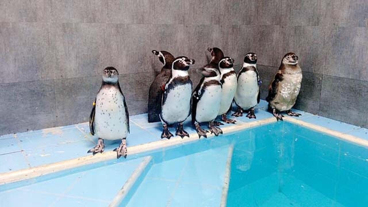 पेंग्विनच्या संगोपनासाठी १२ कोटी खर्चाच्या प्रस्तावाला स्थायी समितीत मंजुरी