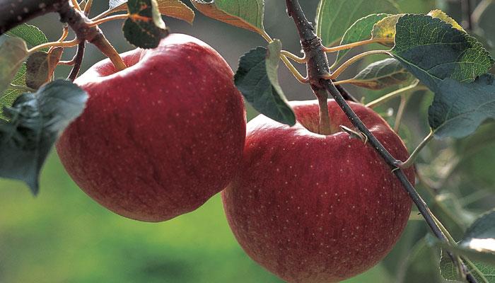 सफरचंद खाणे आरोग्यास लाभदायक