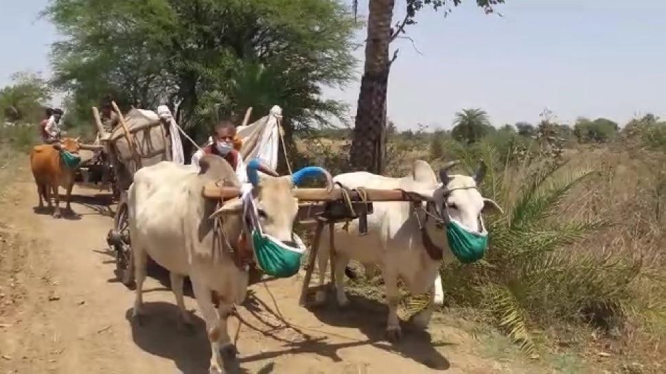 कोरोना : काही शेतकऱ्यांनी लावले बैलांना मास्क, यावर डॉक्टर म्हणाले...