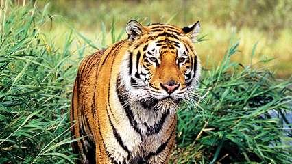 ...तर वाघांच्या अधिवासाला धोका; मुख्यमंत्र्यांची पर्यावरण मंत्र्यांना विनंती