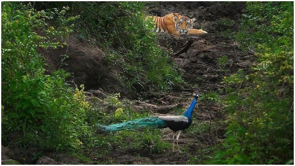 निसर्गाची किमया आणि फोटोग्राफरची कमाल, एकाच फ्रेममध्ये राष्ट्रीय पक्षी आणि प्राणी