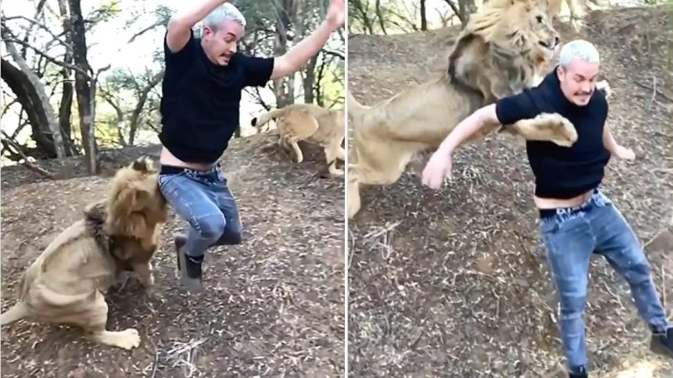 सिंह मागे लागल्यावर तो व्यक्ती पळायला लागला, परंतु हवेत उडी घेऊन सिंहाने त्याला पकडले. नंतर काय झाले पाहा