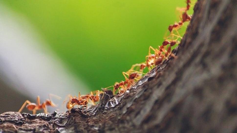 मुंगीबाईचा स्मार्टनेस!  एकाच ओळीत का चालतात मुंग्या माहितीय का?
