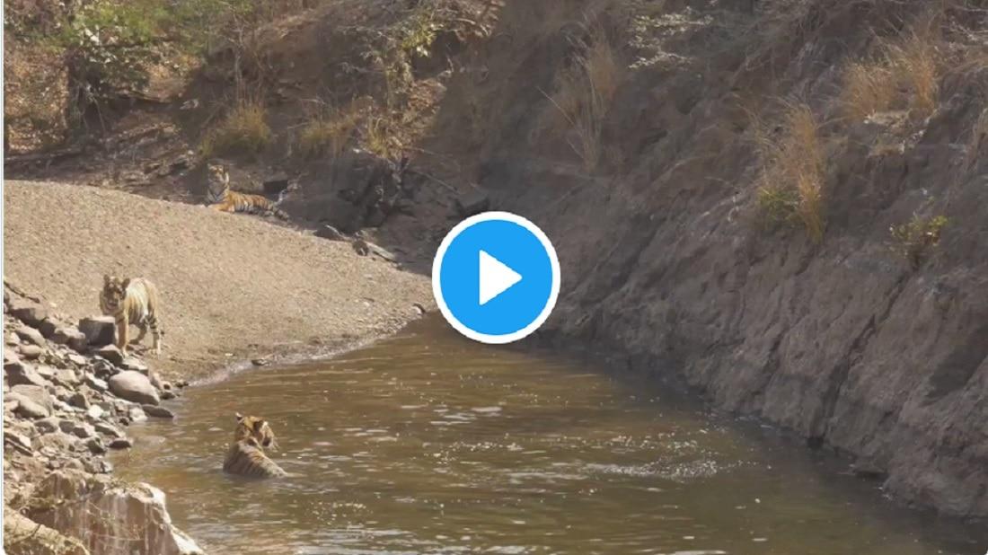 जेव्हा वाघ पाण्यात मस्ती करताना दिसतात, मन प्रसन्न करणारा Video