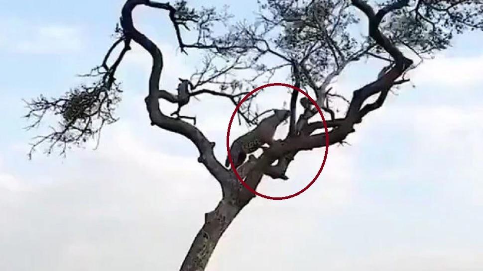 छोट्याशा माकडानं या चपळ आणि हुशार बिबट्यासोबत काय केलं पाहा...व्हिडीओ