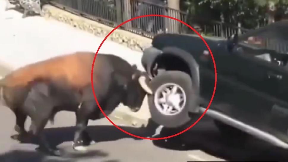 चिडलेल्या वळूनं महागड्या SUV गाडीलाच घेतलं शिंगावर... पुढे काय झालं पाहा व्हिडीओ