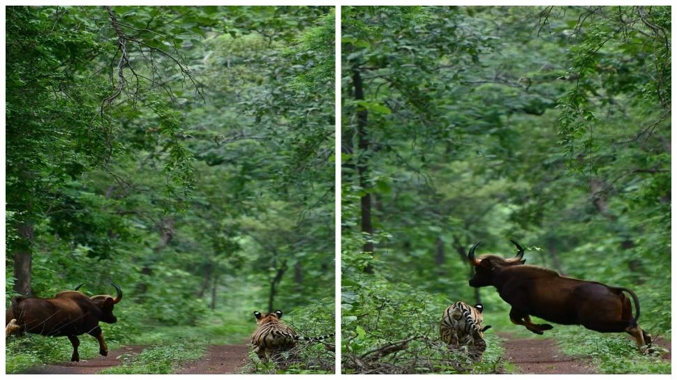 जंगलातही जगण्याचा संघर्ष; छोटा मोगली आणि रानगवा यांच्यातील 'तो' थरारक अनुभव
