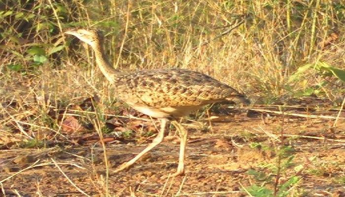 ताडोबात पहिल्यांदाच आढळला तणमोर पक्षी; मादी तणमोर पक्षाच्या नोंदीने पक्षी वैभवात मोठी भर