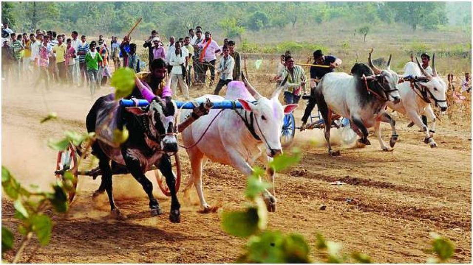 Bullock Cart Race | महाराष्ट्राच्या ग्रामीण संस्कृतीचा ठेवा असलेल्या बैलगाडा शर्यतींचा थरार पुन्हा रंगणार?