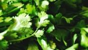 हिरव्यागार कोथिंबिरीनं शेतकऱ्यांना केलं लखपती