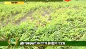 Rain affect on farm in jalgoan