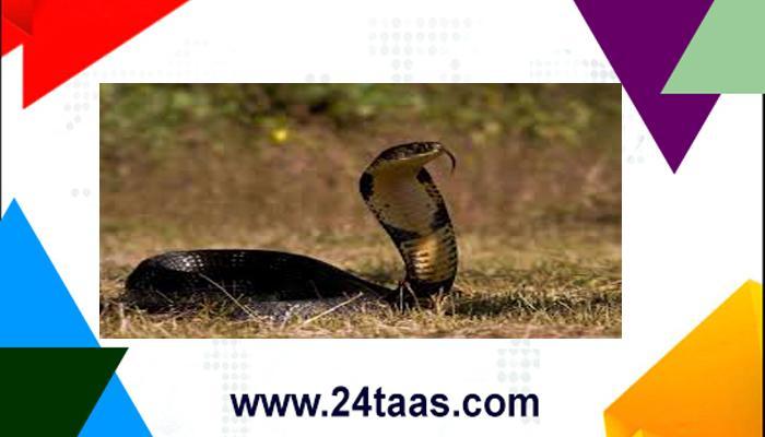 जेव्हा साप त्याच्या मृत्यूचा बदला घेतो