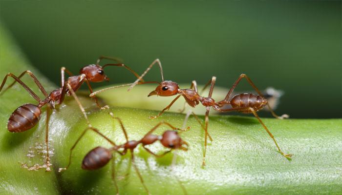 मानवाप्रमाणेच मुंग्याही तयार करतात घरात शौचालयं
