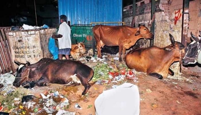 भाजप शासित राजस्थानमध्ये 500 गायींचा मृत्यू