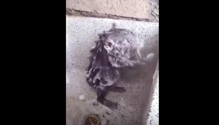 viral video :गलिच्छ बिळांची सफर केल्यानंतर साबणाने अंघोळ करणारा उंदीर
