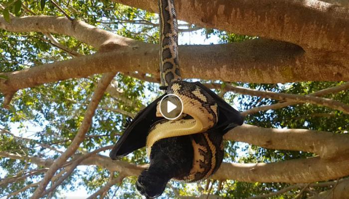 VIRAL VIDEO: जेव्हा अजगराच्या तावडीत सापडलं वटवाघुळ, कोण जिंकलं पाहा