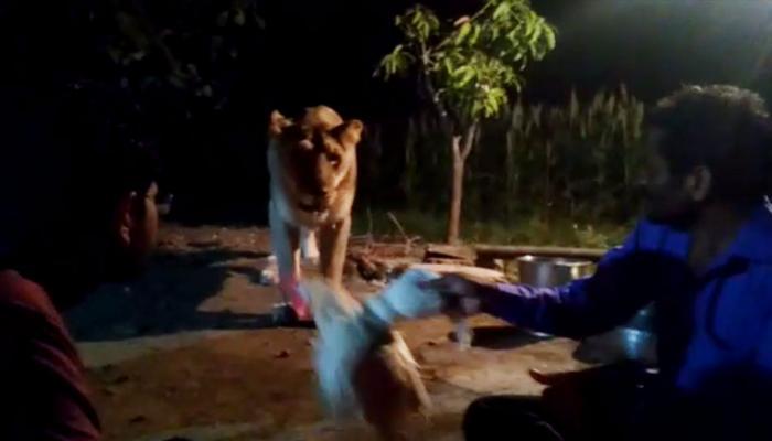 धक्कादायक VIDEO:  हातात कोंबडा घेऊन सिंहाची गंमत करत होते, अचानक....