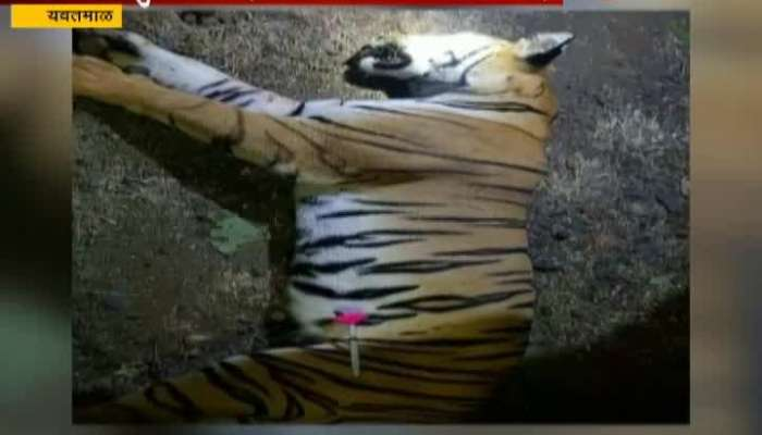 Yavatmal Committee Form For Killing T1 Tigress Inquiry Begins