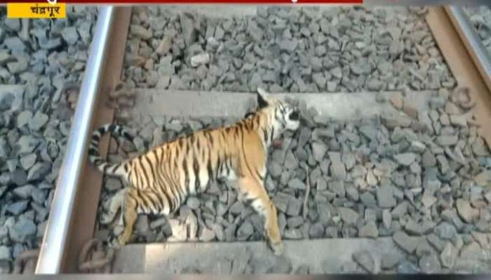 Chandrapur Two Tiger Cubs Found Dead On Railway Tracks