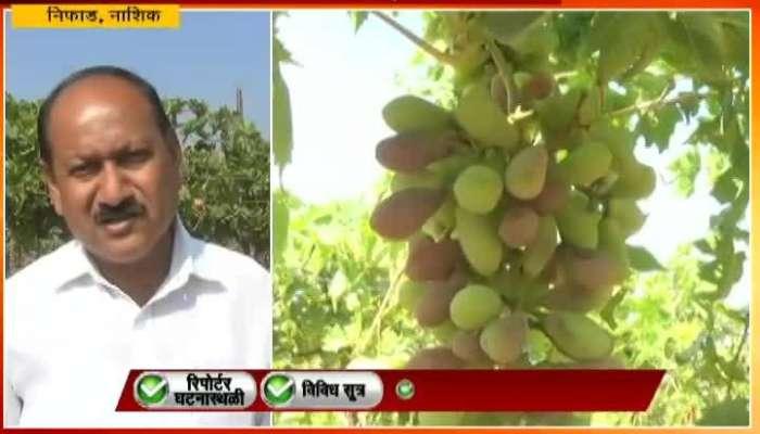 Nashik,Nifad Heavy Cold Affect On Grapes