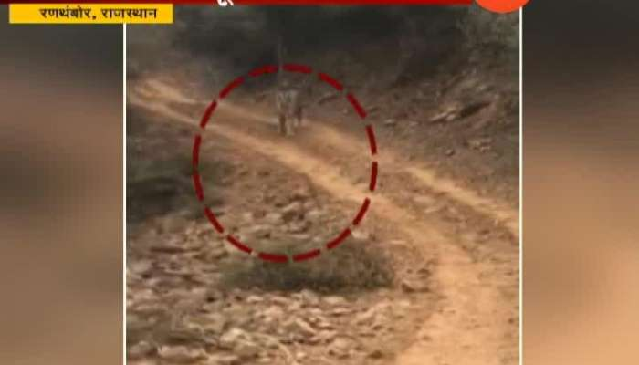 Rajasthan Ranthambor Tourist Fear From Tiger Chase