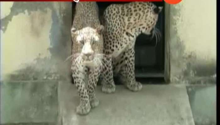 Pune To Sterilize Leopard For Increase In Population And Increasing Attack On Human
