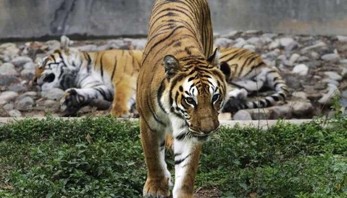 राज्यात वाघाची संख्या वाढली, जाणून घ्या आकडेवारी