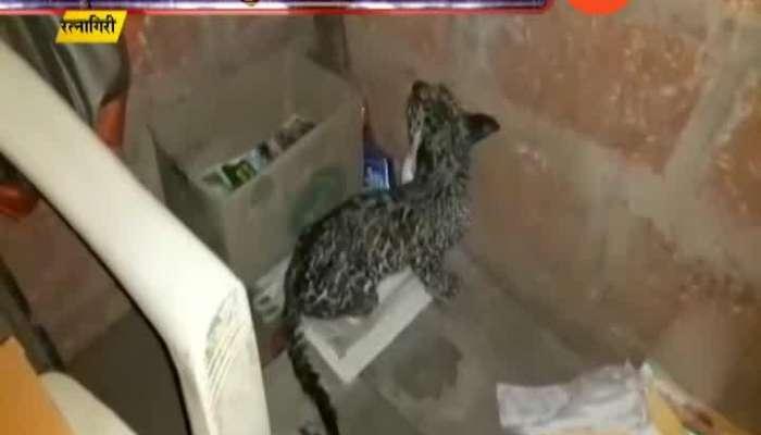 Ratnagiri Leopard Cub At Human Habitate From Heavy Rain