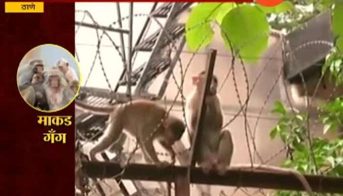 Monkey gang in Thane city