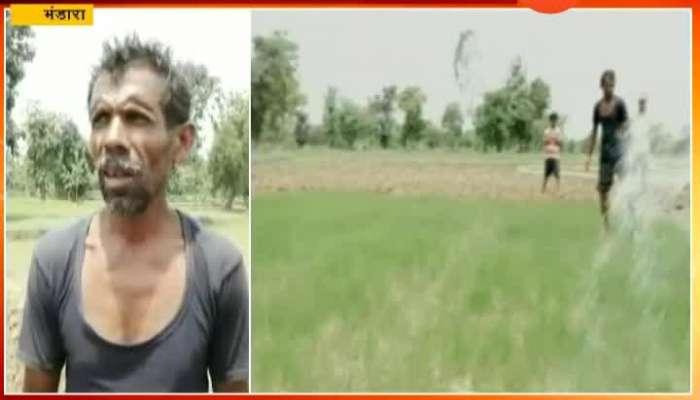 Bhandara Farmers On Rice Crop In Problem