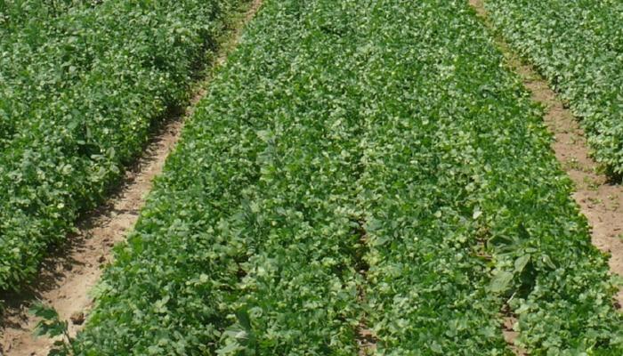 दुष्काळी भागात कोथिंबीरची लागवड, अल्प शेतीवर लाखोंचे उत्पन्न
