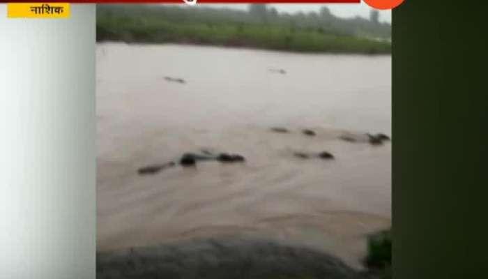 Nashik Cattle Flown Down In Flood Water