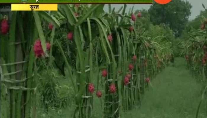 Peekpani | Surat | Farmer Taking Good Production Of Dragon Fruit In Less Water