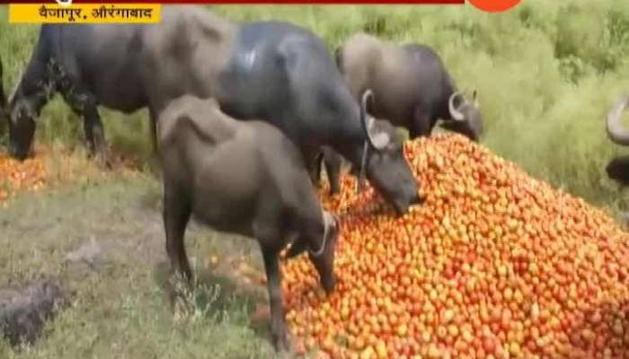 Aurangabad Farmer Throws Tomato On Road For Not Getting Market Price