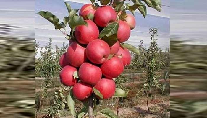 ...म्हणून निवडणुकांच्या रिंगणात होतेय काश्मिरी सफरचंदांची चर्चा