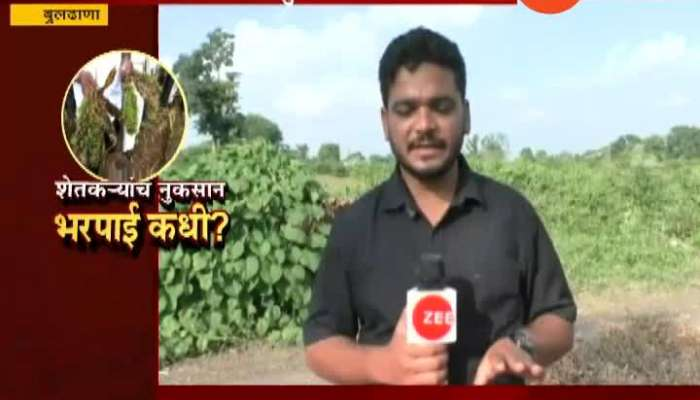 Buldhana Farmers Collecting Remains Of Crops After Damage Of Crops From Heavy Rainfall