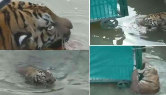 सिरणा नदीपात्रात अडकलेल्या जखमी वाघाचा मृत्यू