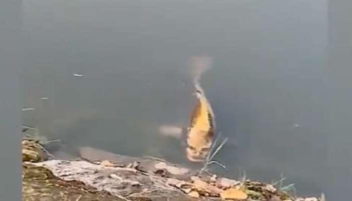 'माणसाच्या चेहऱ्या'सारखा दिसणारा मासा? व्हिडिओ व्हायरल