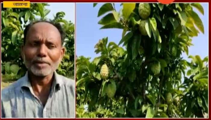 Jalna Farmers Earning Profit From Custard Apple Farming