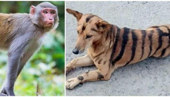 माकडांना अद्दल घडवण्यासाठी कुत्र्यालाच केलं वाघ