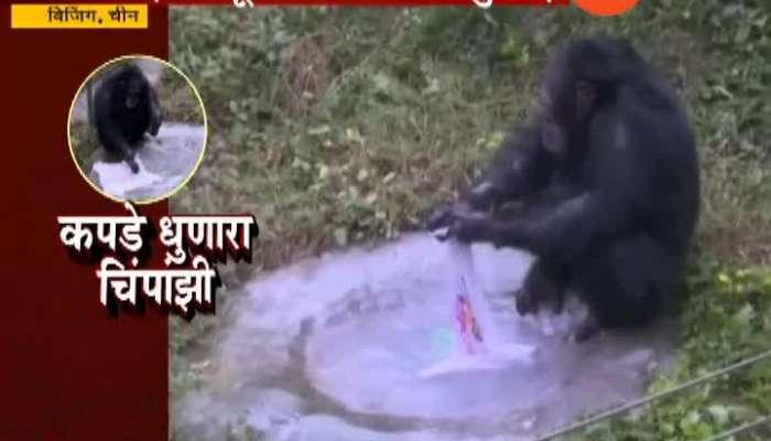 China Beijing Chimpanzee Washing Clothes