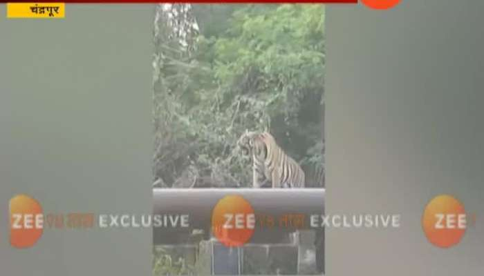 Chandrapur Tiger Seen On Water Pipe Line Near Thermal power project