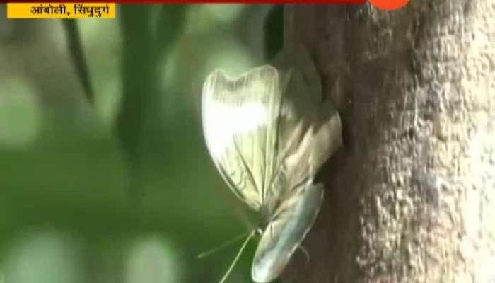 Sindhudurg Various Species Of Butterflies Found In Amboli