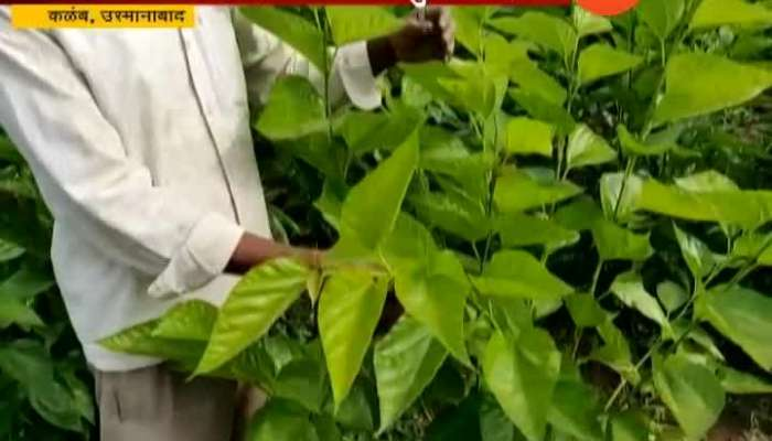 Osmanabad Farmers Turns To Silk Farming from Traditional Farming