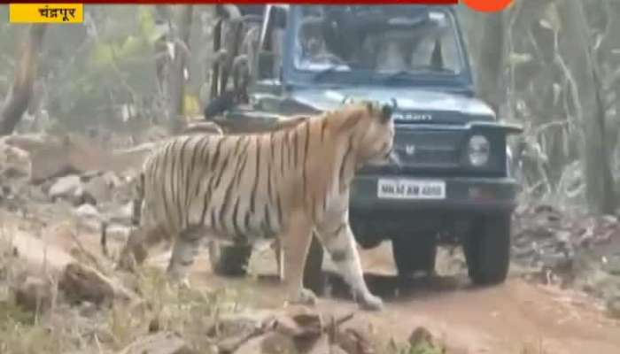 Chandrapur Tadoba Tiger Reserve Tourist Experience Tiger In Front Of Vehicle