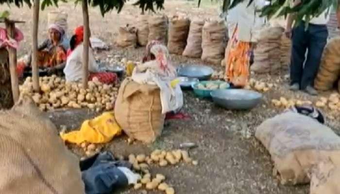 बटाट्याचं गाव! कमी पाण्यात, कमी खर्चात फायदेशीर बटाटा शेती
