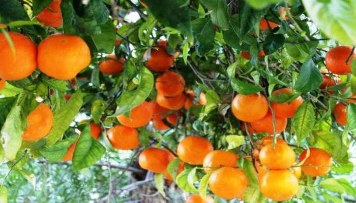 'कोरोना इफेक्ट', नागपूरच्या गुणकारी संत्र्यांची परदेशातही मागणी वाढली